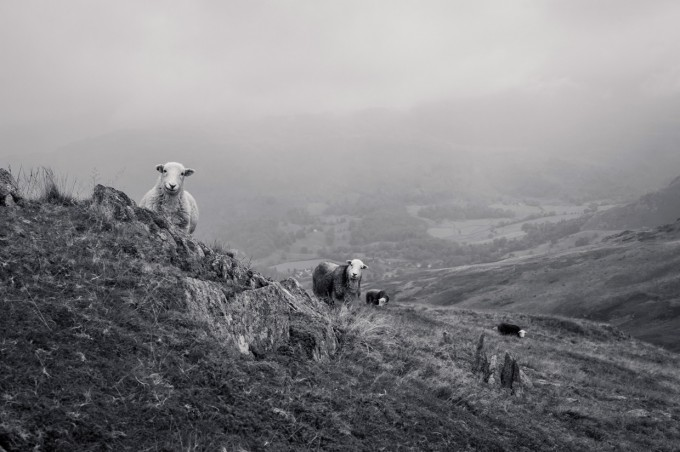 hjorthmedh-lake-district-curious-sheep