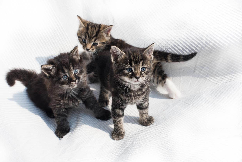 hjorthmedh-smalands-kittens-5