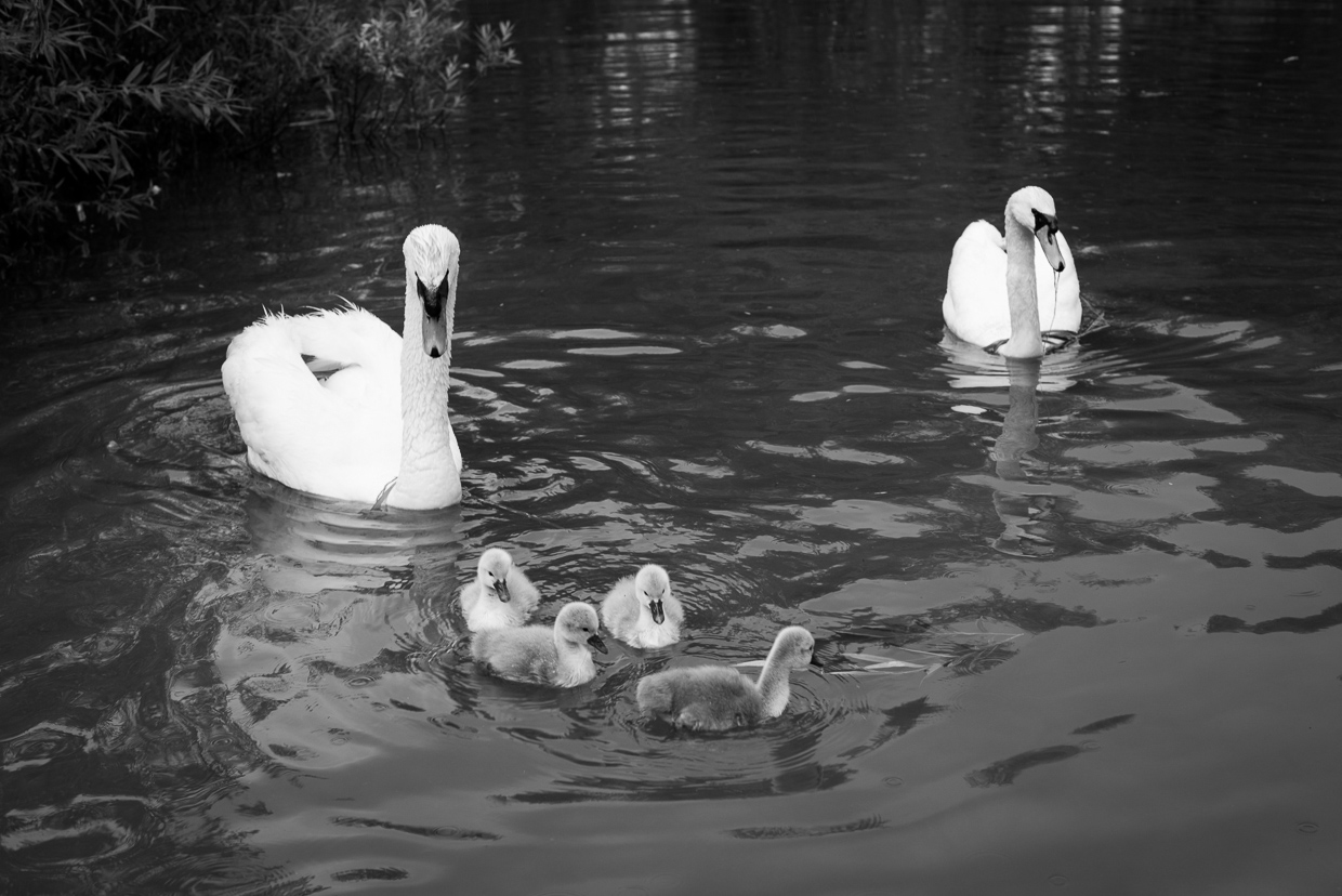 The swan family.